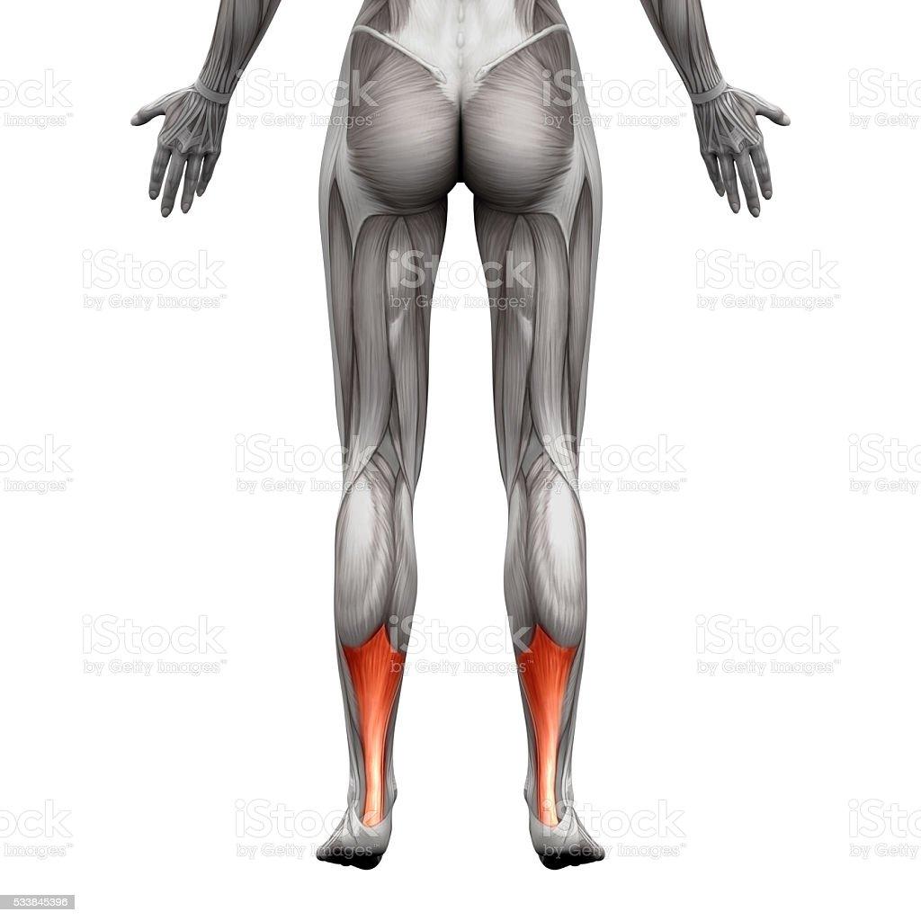 Fotografía de Tendón De Aquiles De Anatomía Músculoaislado Sobre ...