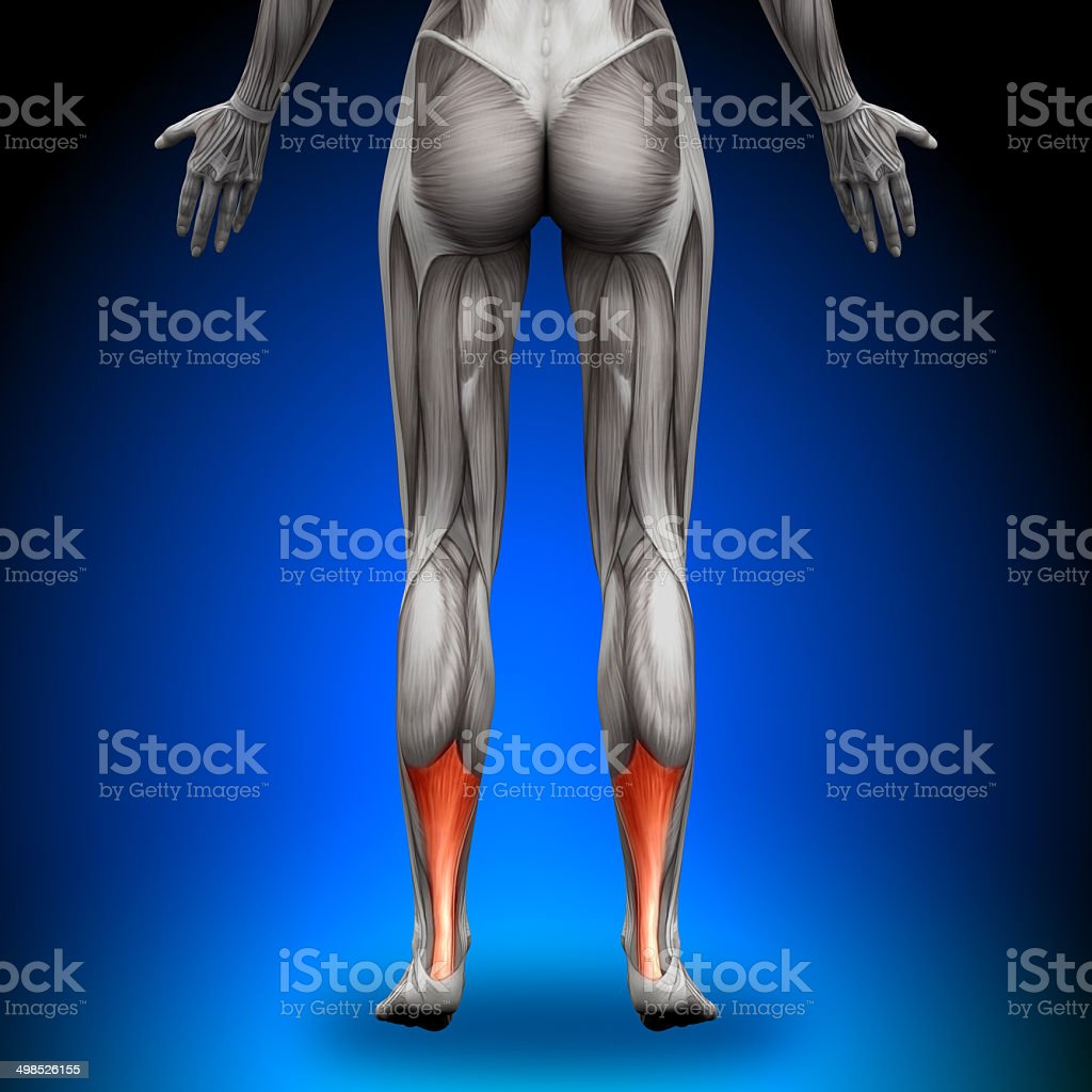 Achilles Tendon - Female Anatomy Muscles stock photo