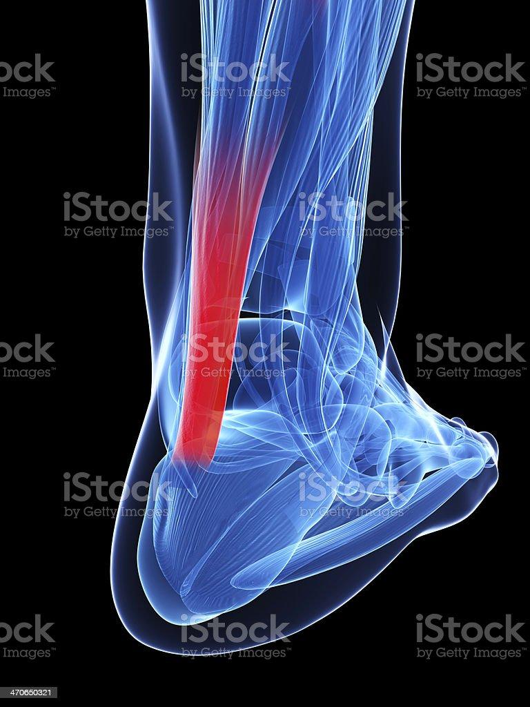 achilles tendon stock photo
