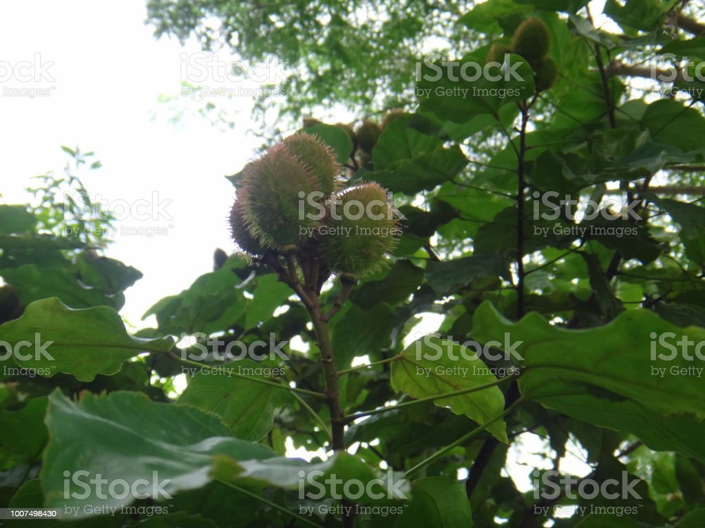 Achiote - Immature pods - Unripe stock photo