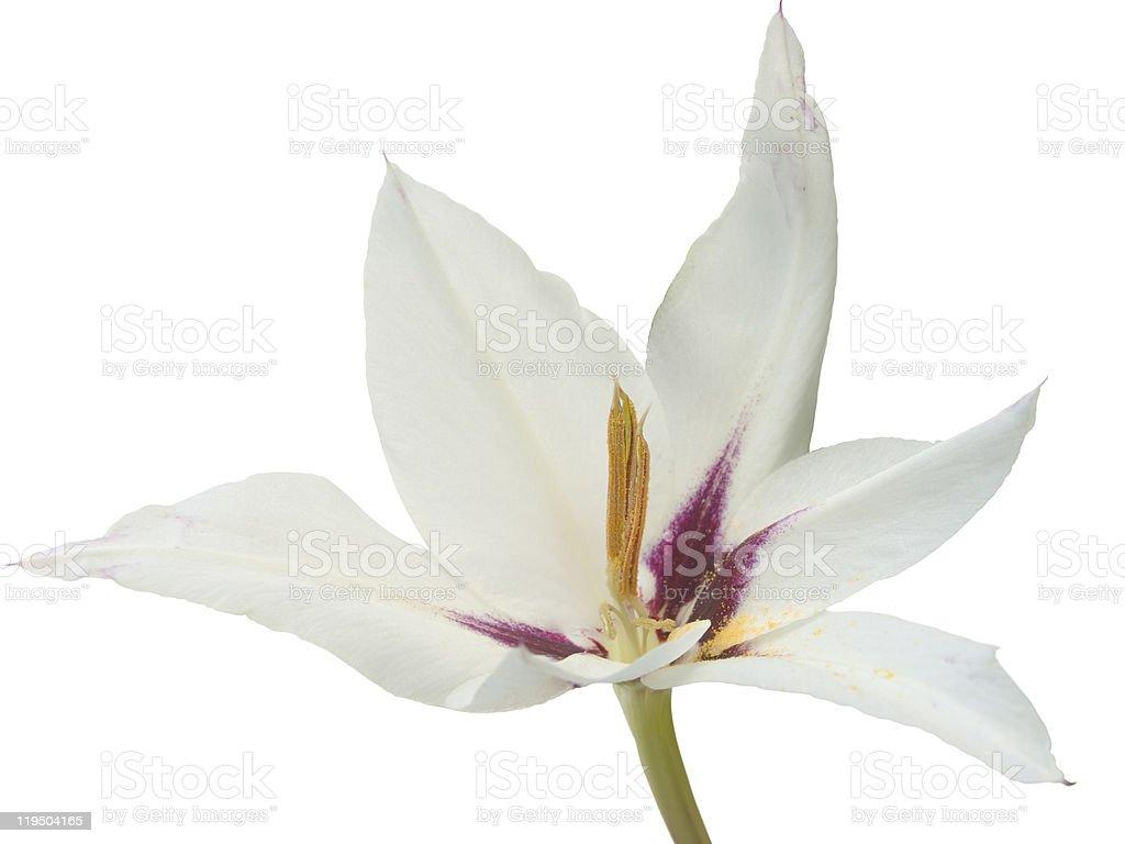 Acidanthera bicolor,  Gladiolus abyssinicus royalty-free stock photo