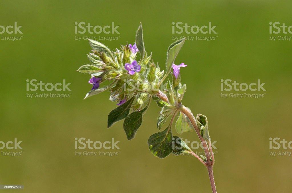 Acinos rotundifolius stock photo