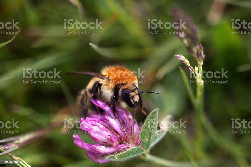 Ackerhummel auf einer Blume zbiór zdjęć royalty-free