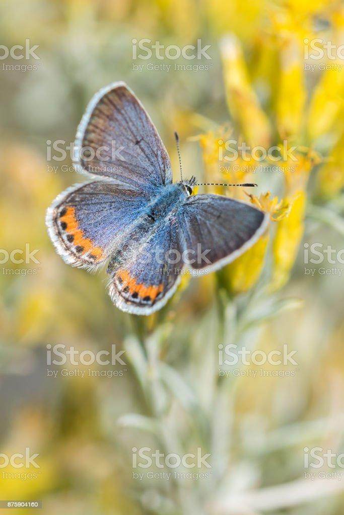 Acmon Blue, Black Mesa, OK stock photo