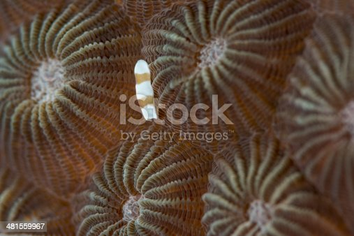 acoel flatworm - amphiscolos sp on a hard coral