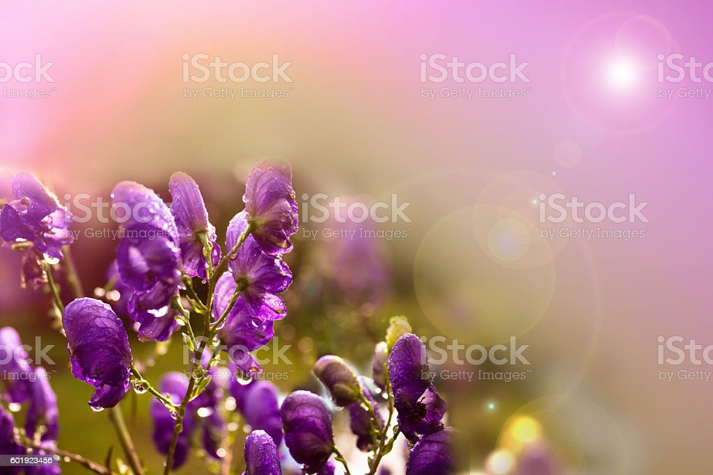 Aconite flower - Photo
