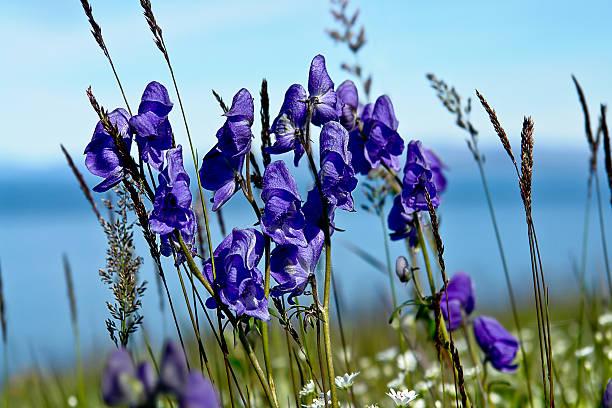 Aconit d'fleurs de toundra recouverte. - Photo