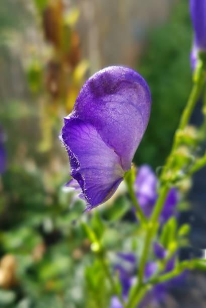 Aconitium, napellus - Photo