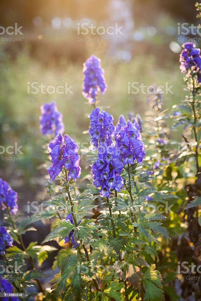 Aconitum napellus, Aconite against backlit - Photo