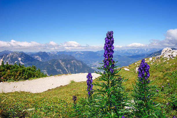 Aconitum napellus flowers against mountains – Foto