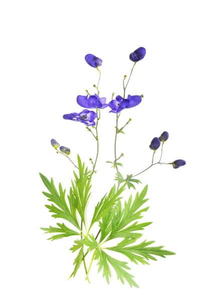 Aconitum napellus - Photo