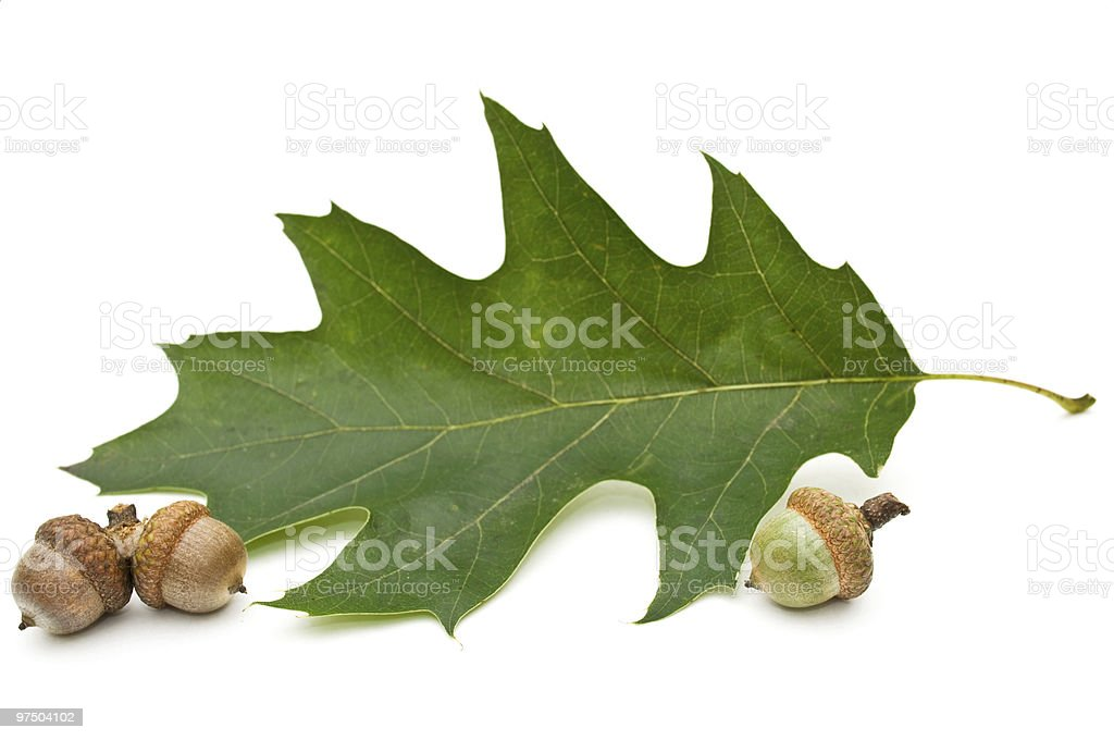 Acorn and leaf of oak royalty-free stock photo