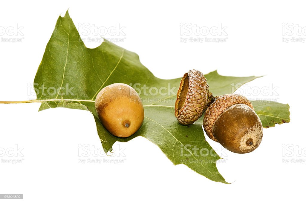 Acorn and leaf of oak. royalty-free stock photo
