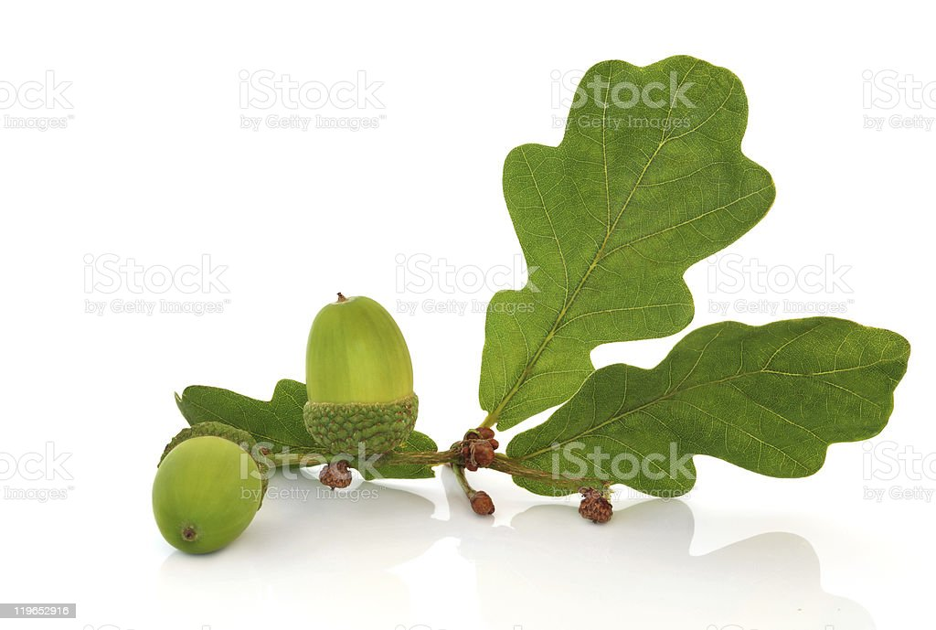 Acorn and Oak Leaf Sprig stock photo