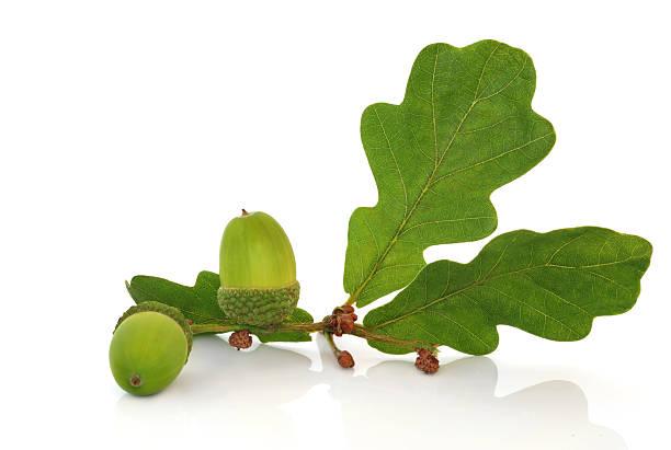 acorn und oak leaf zweig - eichenblatt stock-fotos und bilder
