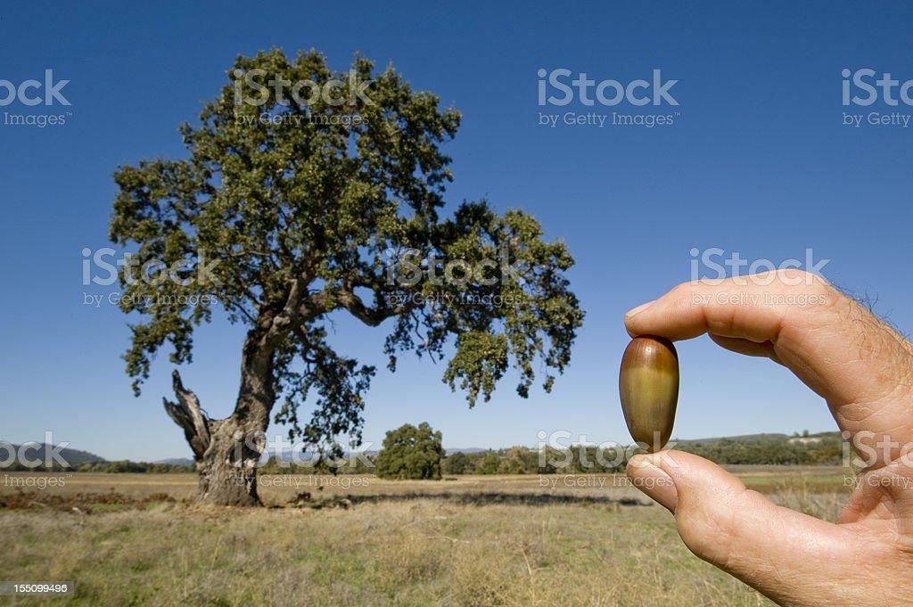 Acorn and Oak Tree royalty-free stock photo