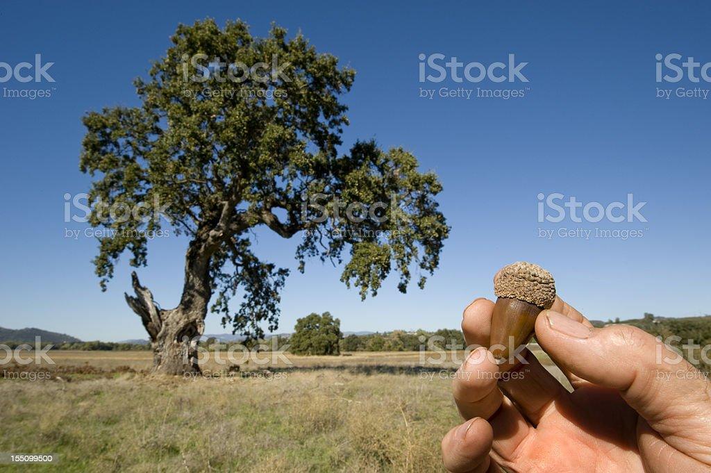 Acorn and Oak Tree stock photo