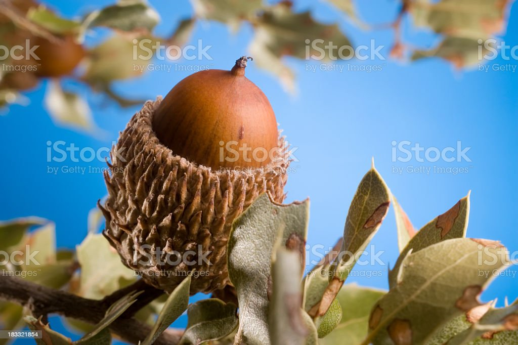Acorn detail over blue background royalty-free stock photo