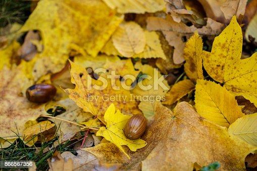istock acorn in autumn yellow leaves 866567356