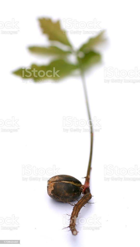 Acorn into Oak royalty-free stock photo