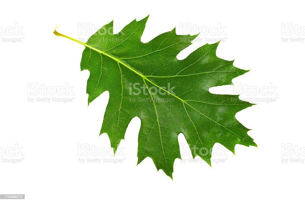 Acorn leaf royalty-free stock photo