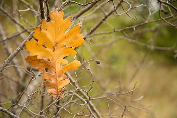 Acorn leaf stock photo