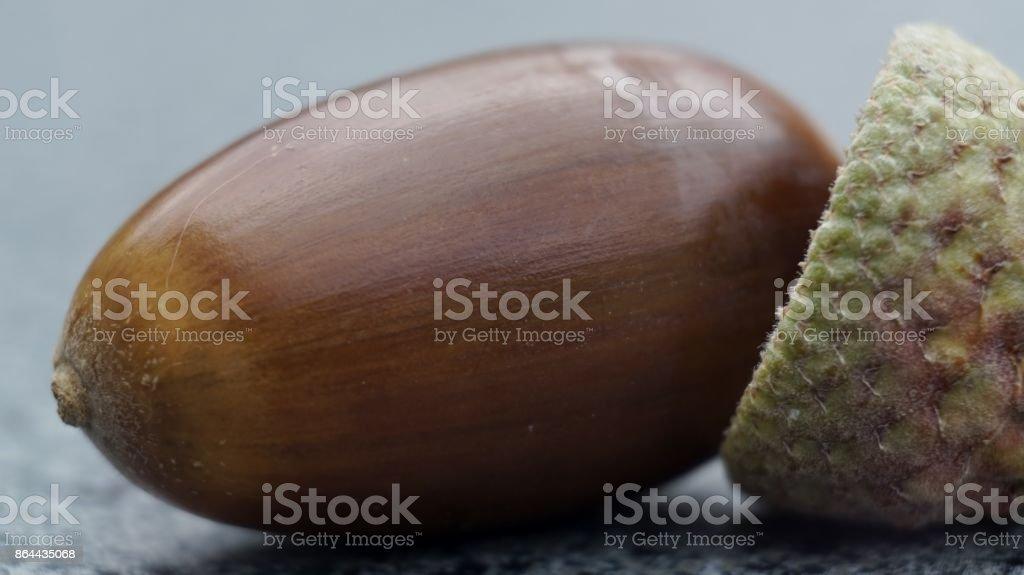 Acorn Nut and Cupule. stock photo