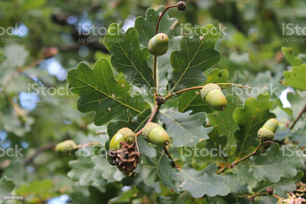Acorn on oak tree stock photo