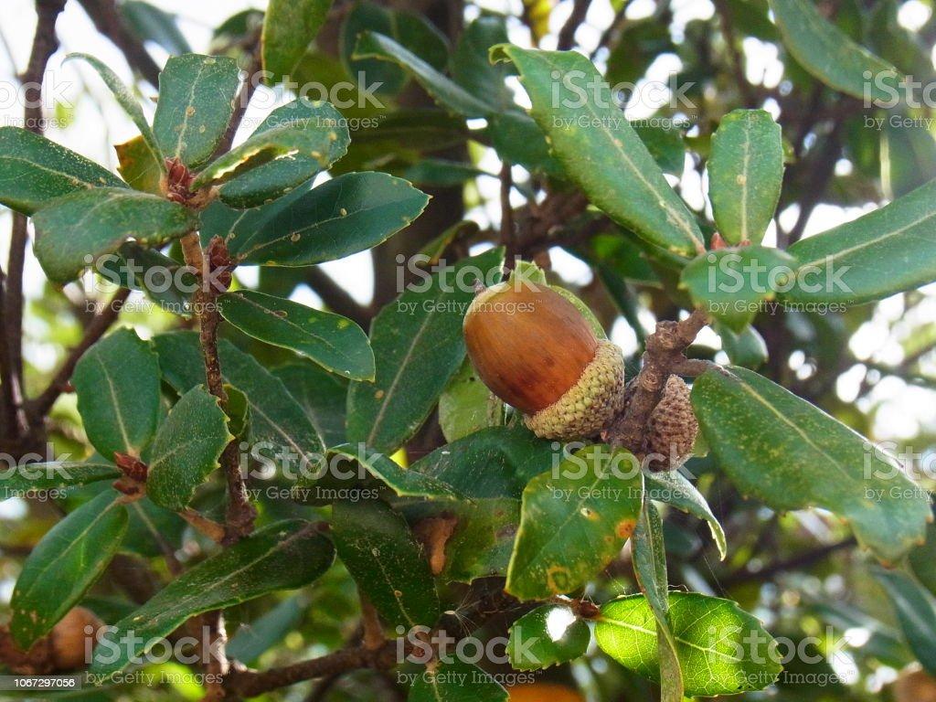 木のどんぐり ストックフォト