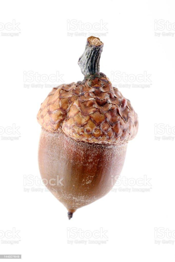 acorn royalty-free stock photo