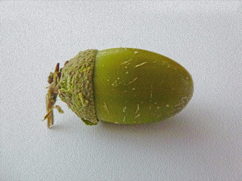 istock acorn 486946282