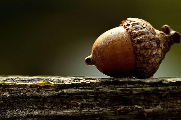acorn - eichenblatt stock-fotos und bilder