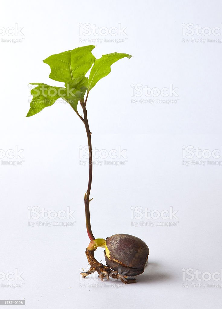 Acorn Sprout stock photo