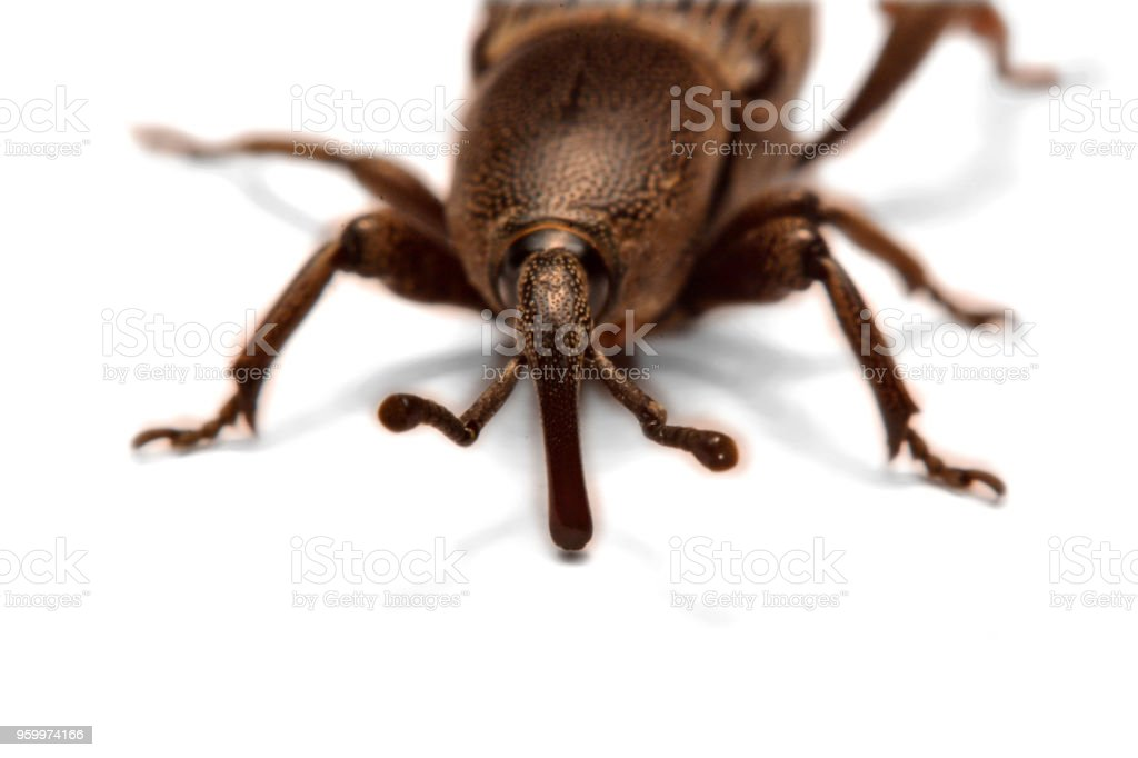Acorn Weevil Curculio Glandium Isolated On White A Little