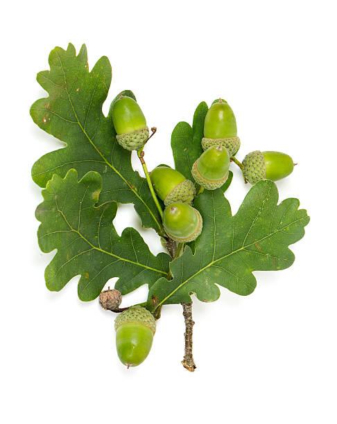 acorn mit blatt - eichenblatt stock-fotos und bilder