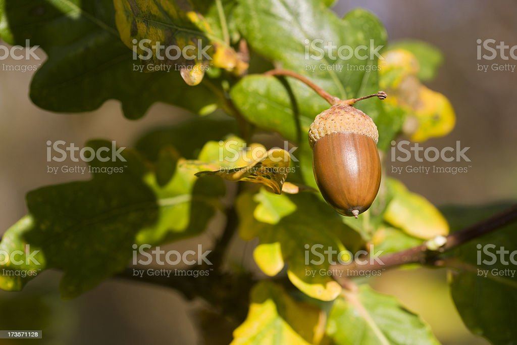 Acorn with oak leafs in fall royalty-free stock photo