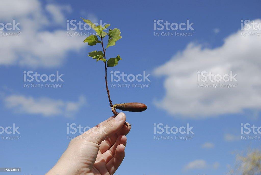 Acorn with Oak Tree royalty-free stock photo