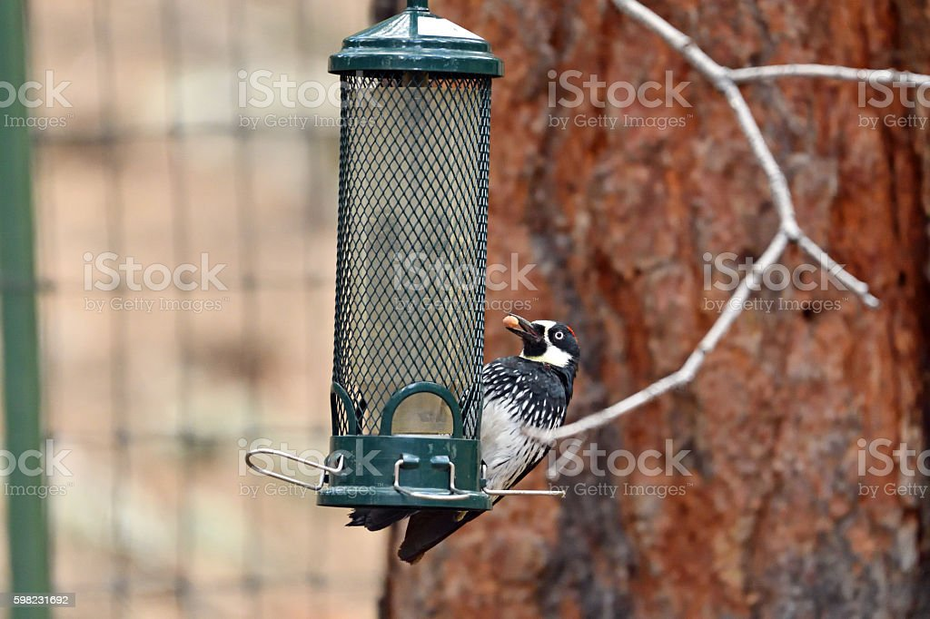 Acorn woodpecker getting a seed from bird feeder. foto royalty-free