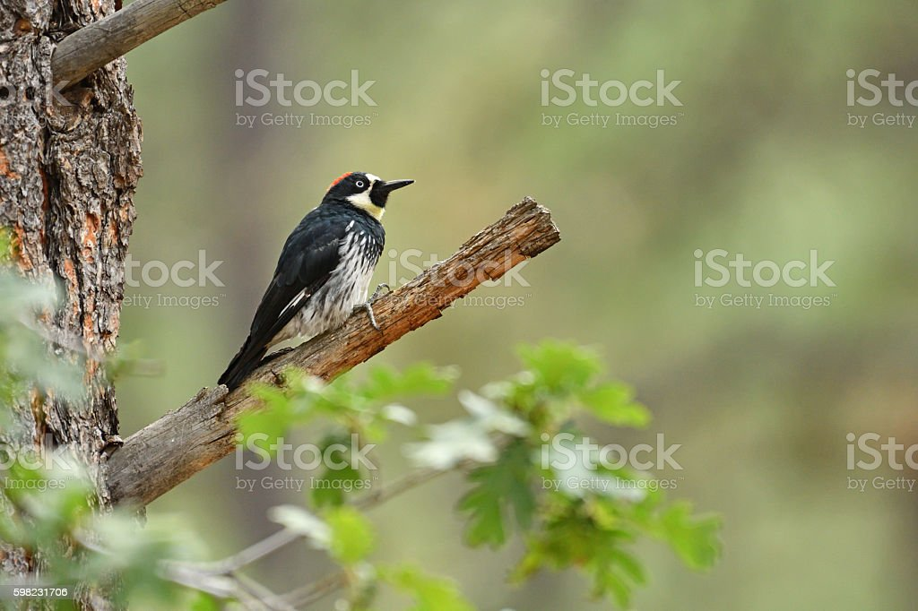 Acorn woodpecker perched on branch. foto royalty-free