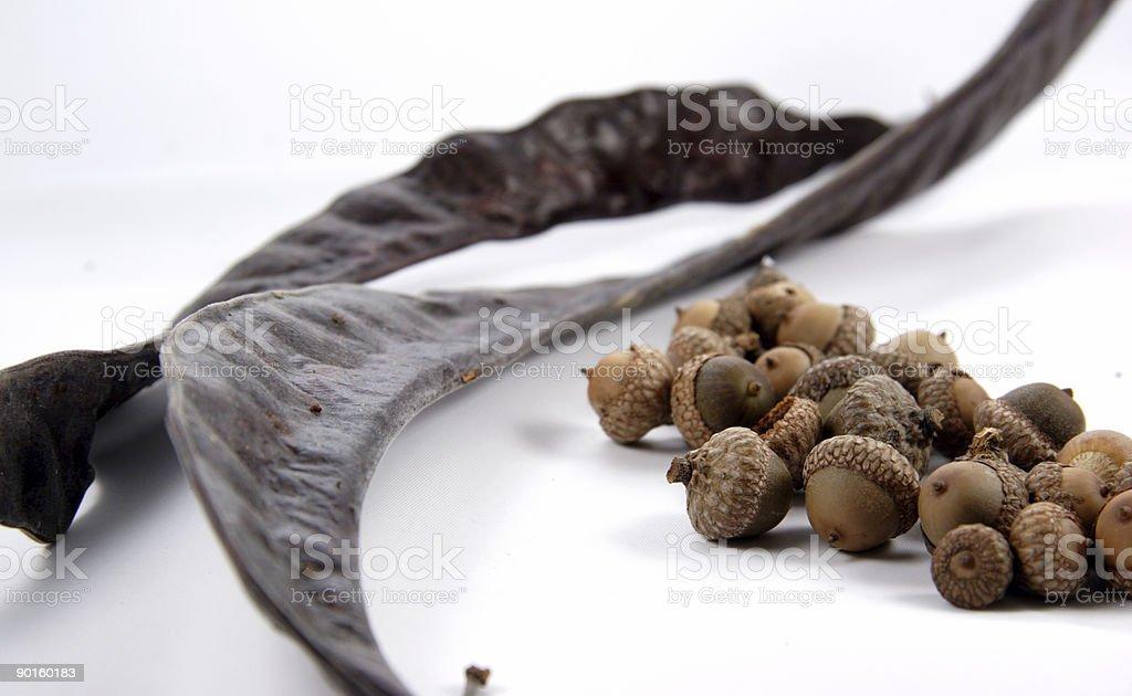 acorns and honey locust pods royalty-free stock photo