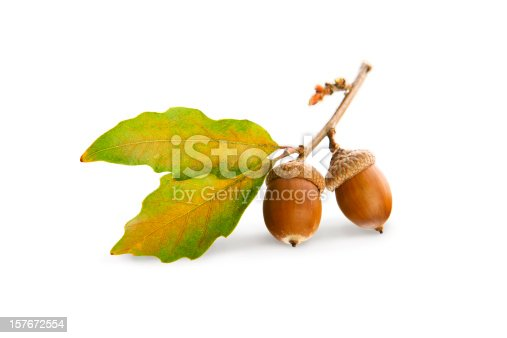 Oak branch with acorns and oak leaves isolated on white.