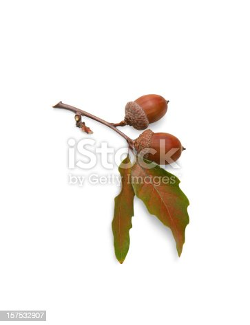 Acorns and oak leaves on white background with clipping path included.