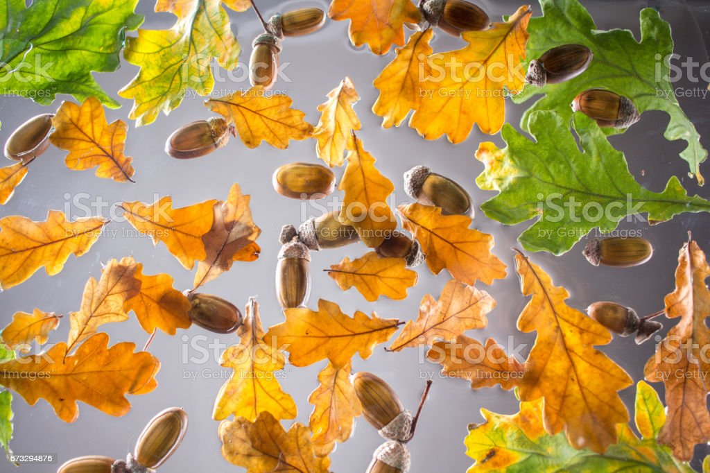Acorns and oak leaves royalty-free stock photo