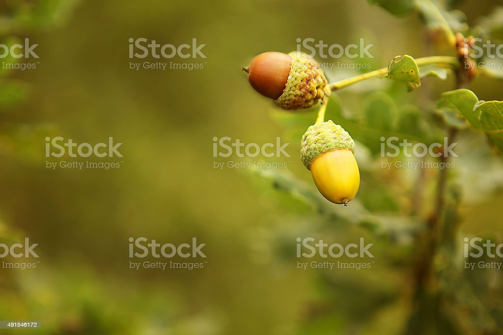 Acorns Close-up on an Oak Tree Branch stock photo
