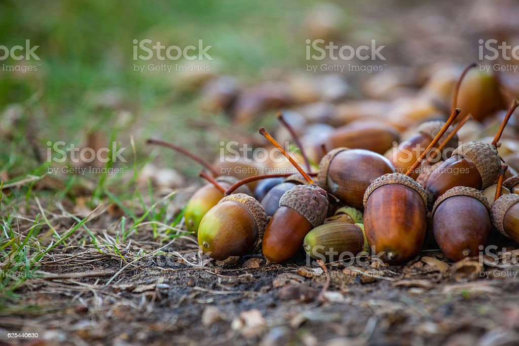Acorns different maturity and sizes lie on the floor. stock photo
