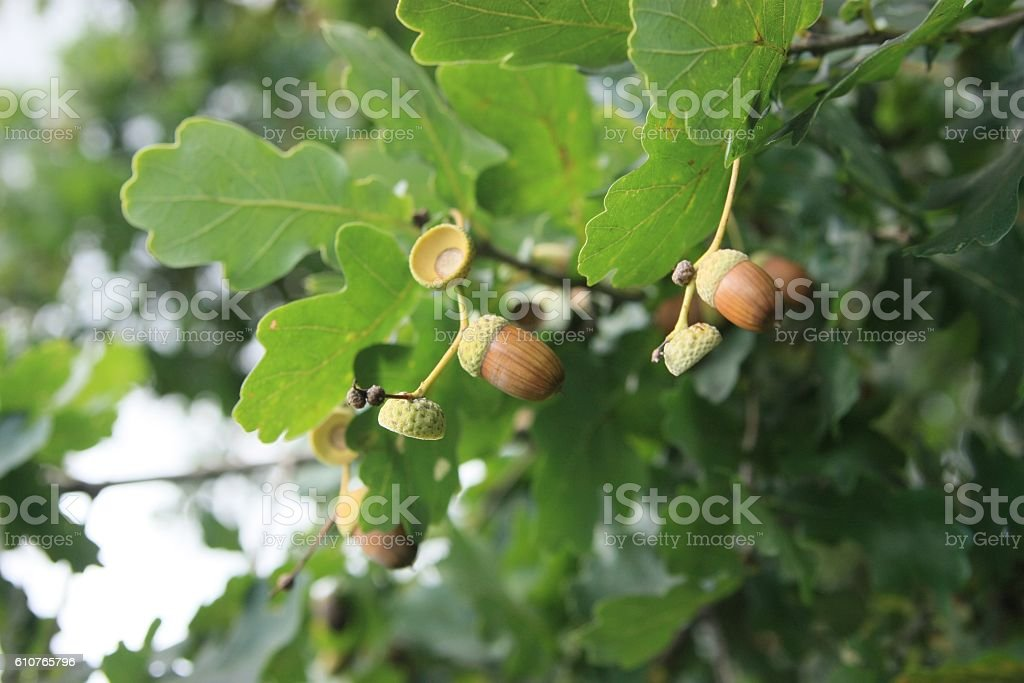 Acorns in fall stock photo