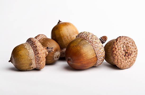 Acorns isolated on a white background stock photo