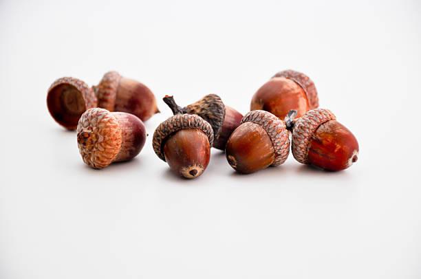 acorns isolated stock photo