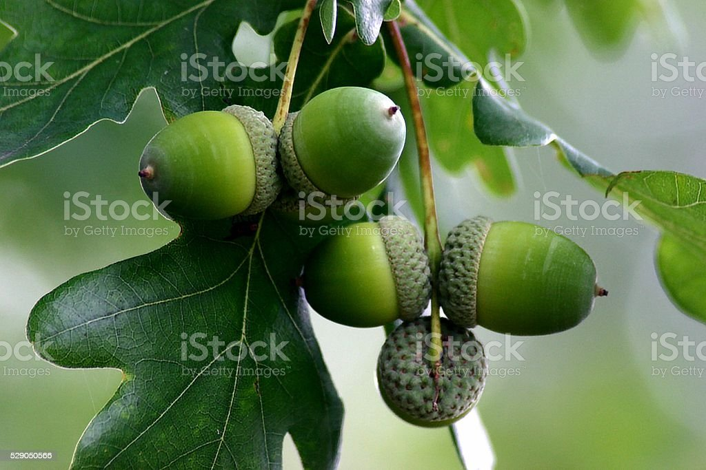 acorns oak-tree stock photo