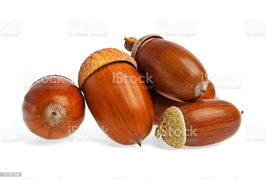 acorns on a white background stock photo more pictures of acorn